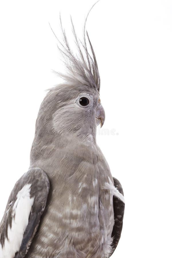 Cockatiel White-faced fotografía de archivo libre de regalías