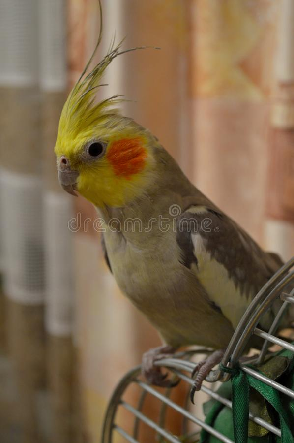 Cockatiel with yellow head tuft. Cute cockatiel with yellow head tuft and orange cheeks is sitting on the cage stock images