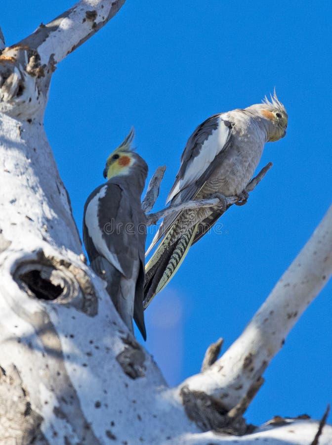 Cockatiels på ett rede i Queensland royaltyfri foto