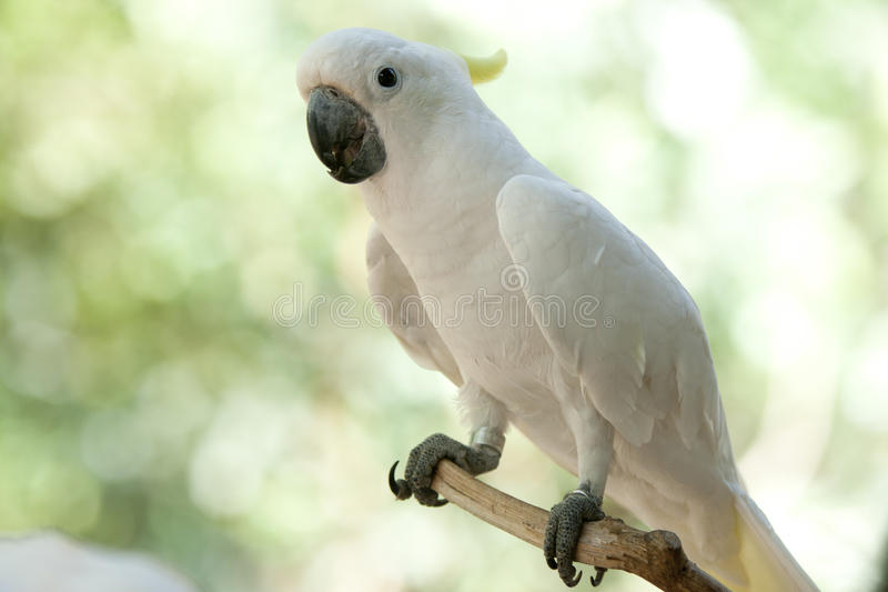 Cockatoo в парке стоковое фото