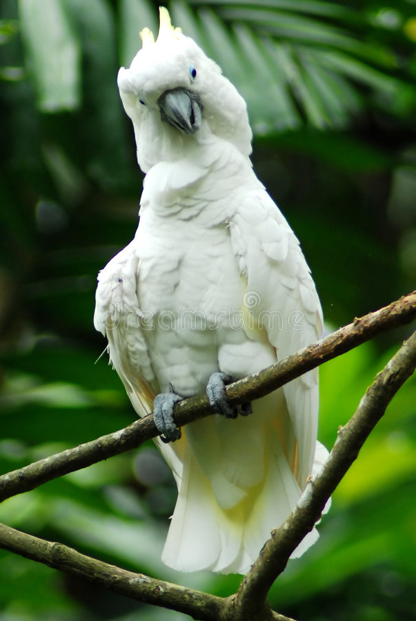 cockatoo птицы стоковые фото