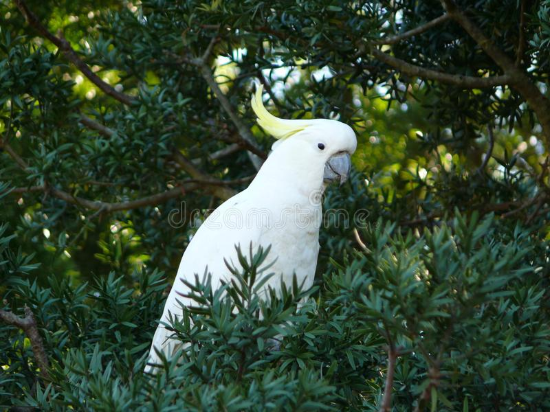 cockatoo image stock