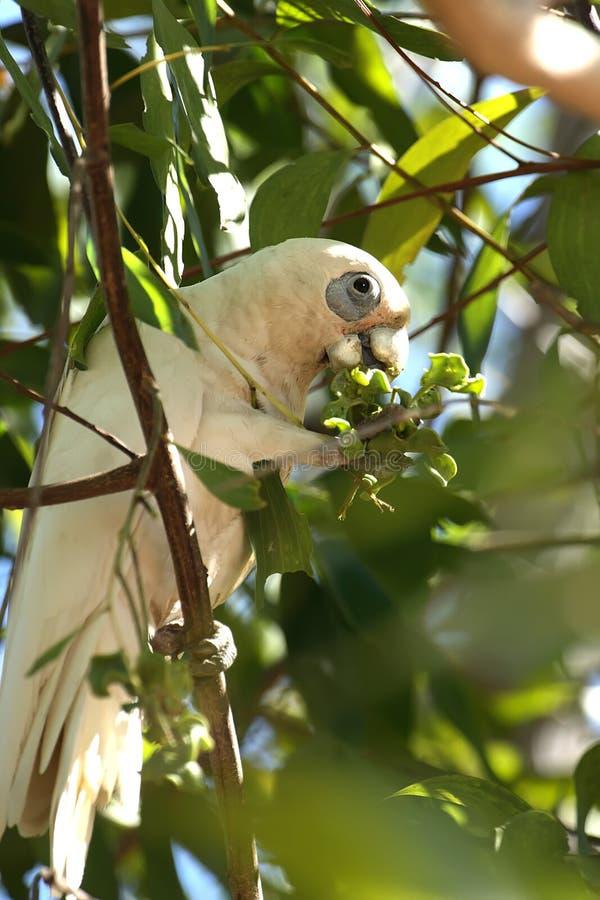 Free Cockatoo Stock Photography - 3768592