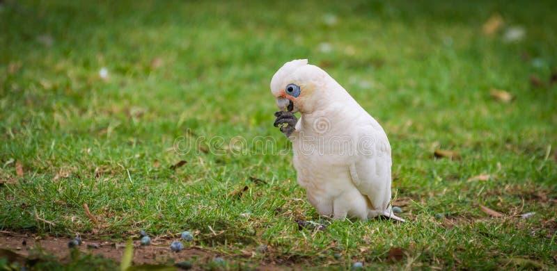 cockatoo royalty-vrije stock afbeeldingen