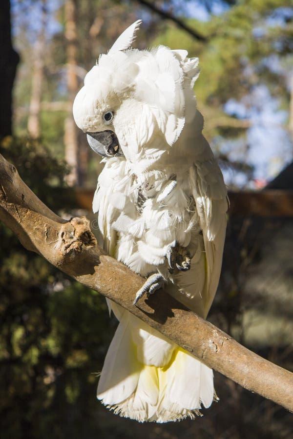 cockatoo fotografie stock libere da diritti