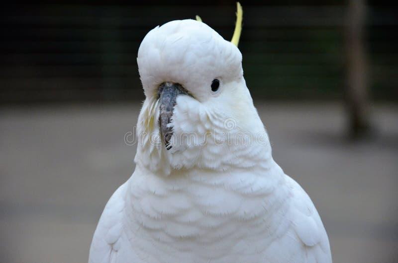 cockatoo стоковые фотографии rf