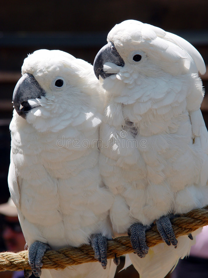 Download Cockatoo stock photo. Image of natural, perch, feet, branch - 745788