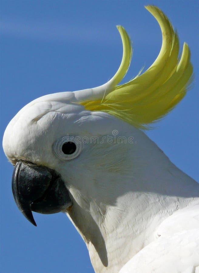 cockatoo foto de archivo libre de regalías