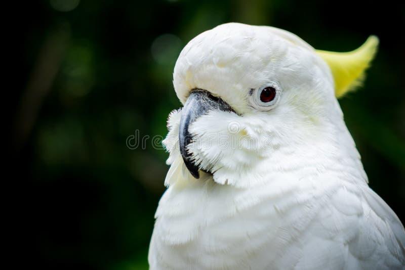 cockatoo fotos de archivo libres de regalías