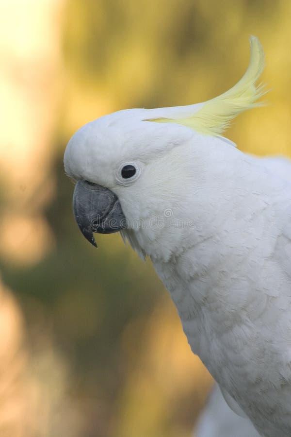 Cockatoo images libres de droits