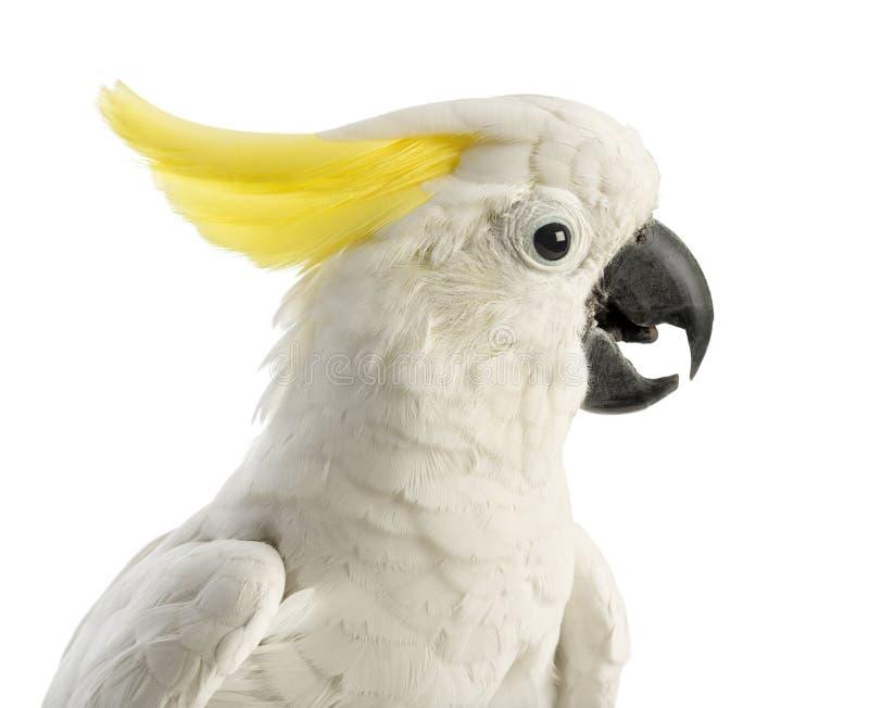 Cockatoo Azufre-con cresta, galerita del Cacatua, 30 años fotografía de archivo
