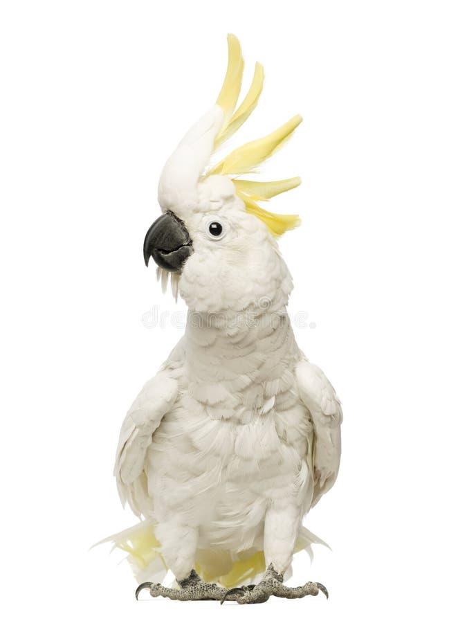 Cockatoo Azufre-con cresta, galerita del Cacatua, 30 años, con la cresta para arriba foto de archivo libre de regalías
