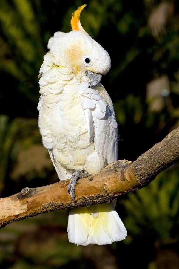 Cockatoo bianco che preening immagine stock