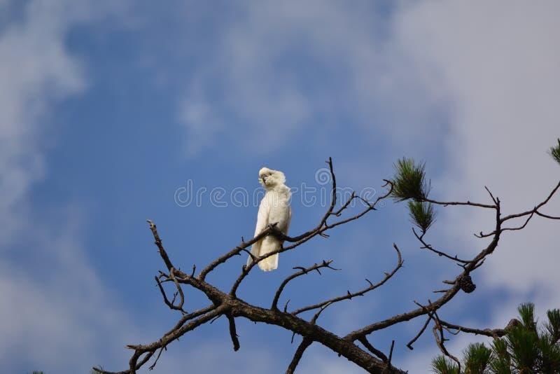 Cockatoo branco imagem de stock royalty free