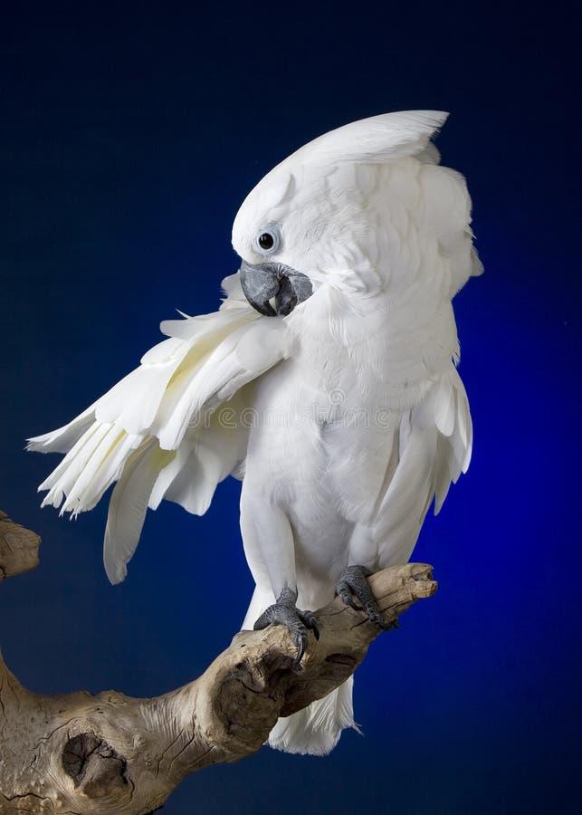 Cockatoo branco do guarda-chuva foto de stock