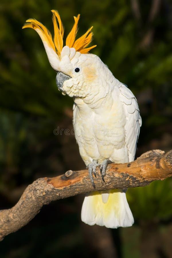 Cockatoo che osserva a sinistra immagini stock