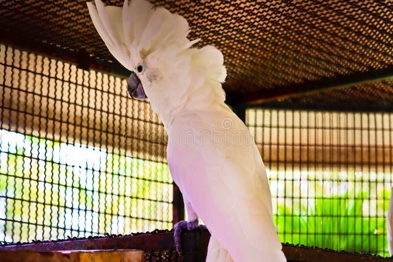 Cockatoo com crista branco imagem de stock