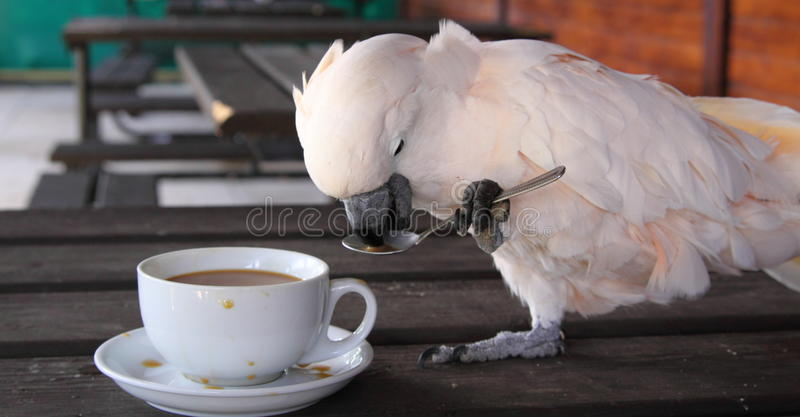 Cockatoo com uma chávena de café foto de stock