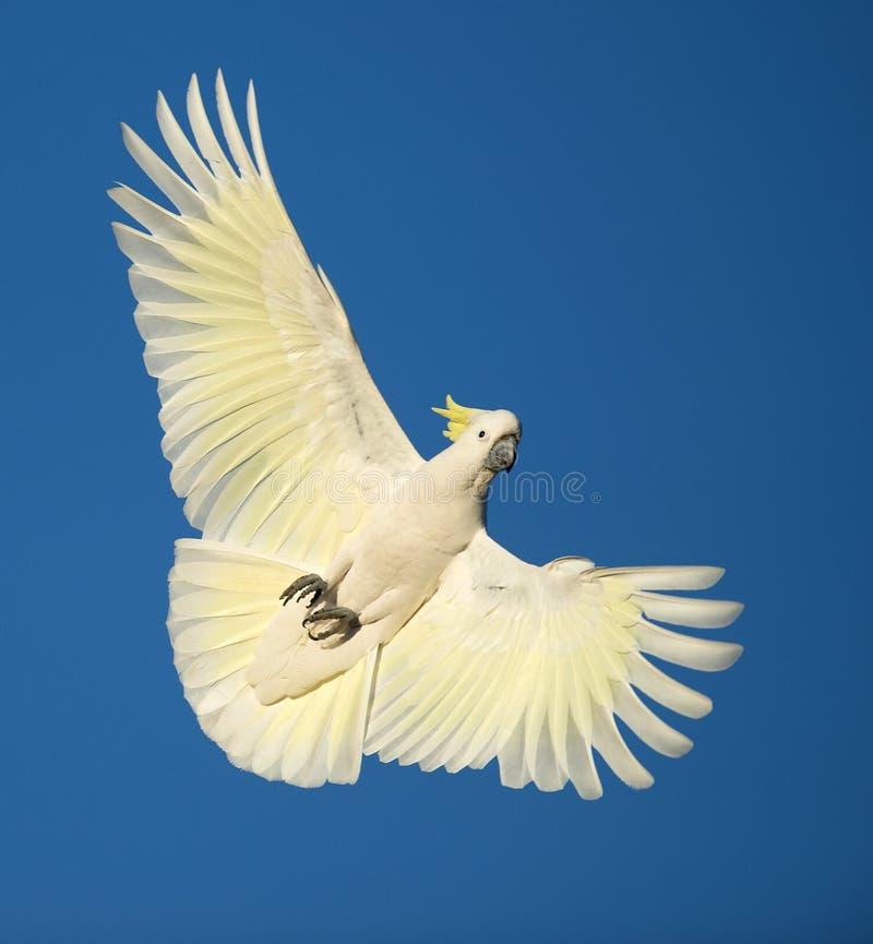 Cockatoo con cresta del sulfuro imagen de archivo libre de regalías