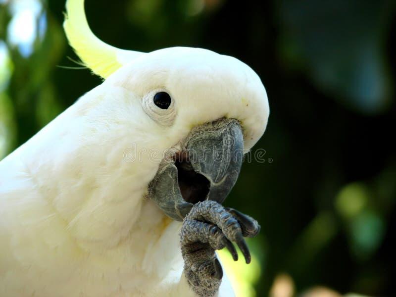 Cockatoo crestato dello zolfo fotografia stock libera da diritti