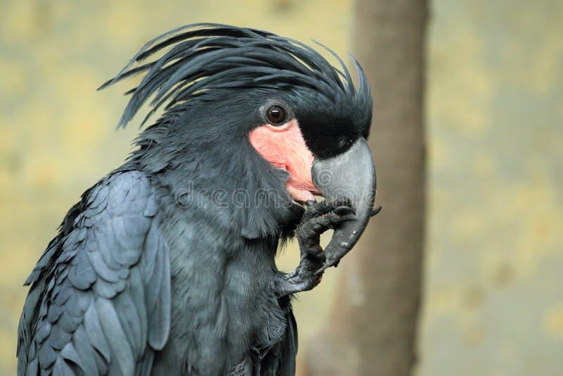 Cockatoo da palma fotografia de stock