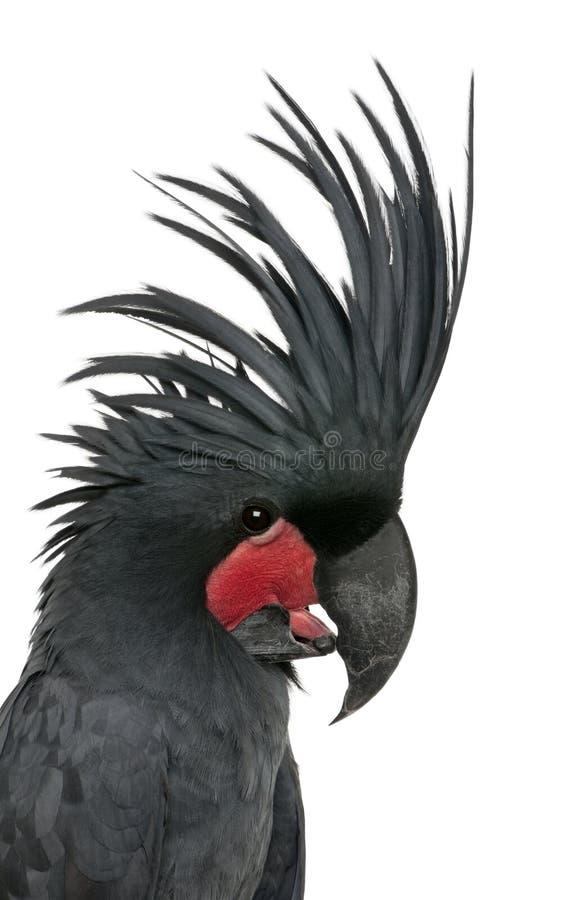 Cockatoo da palma, aterrimus de Probosciger fotografia de stock royalty free