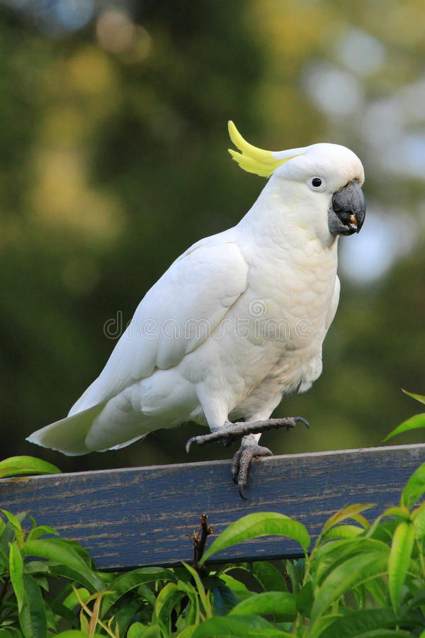 Free Cockatoo Dancing On Fence Royalty Free Stock Photo - 53321935