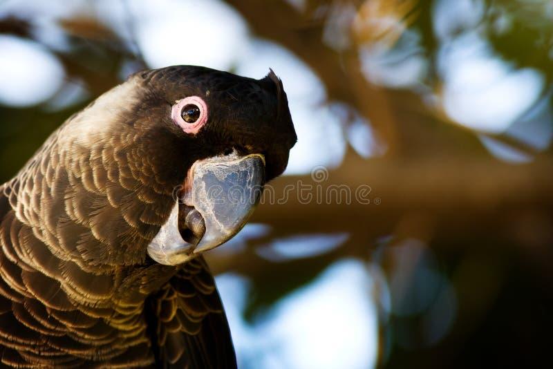 Cockatoo de Carnaby foto de archivo libre de regalías