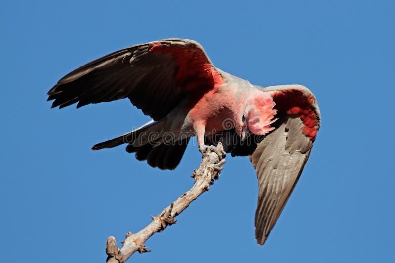 Cockatoo de Galah, Australie photographie stock libre de droits