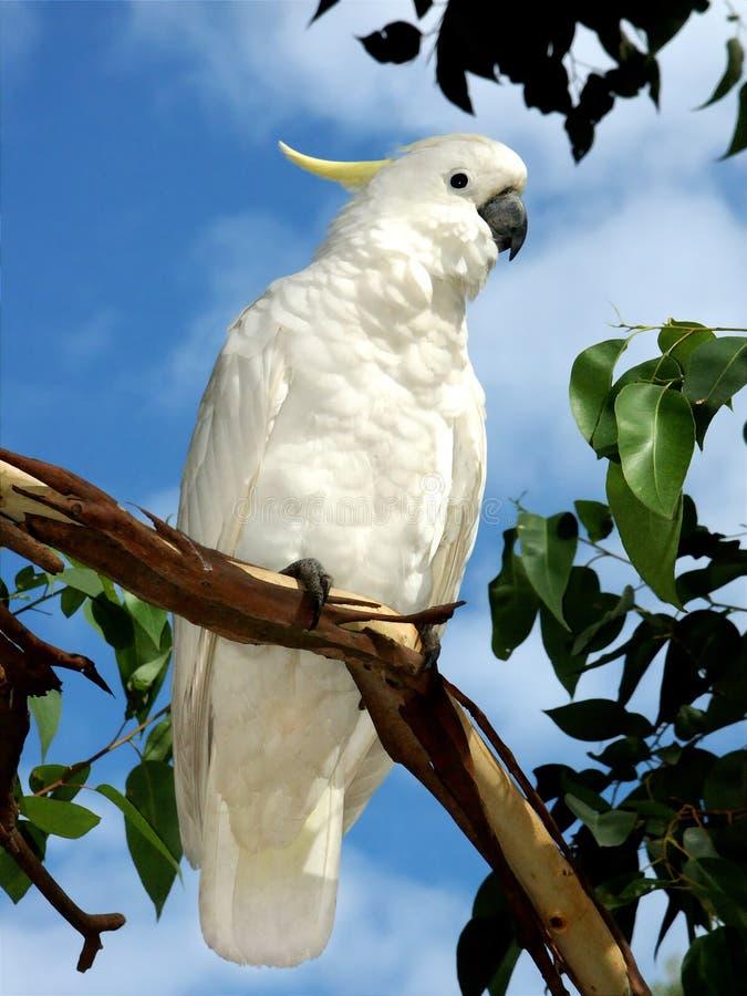 Cockatoo en un árbol fotografía de archivo