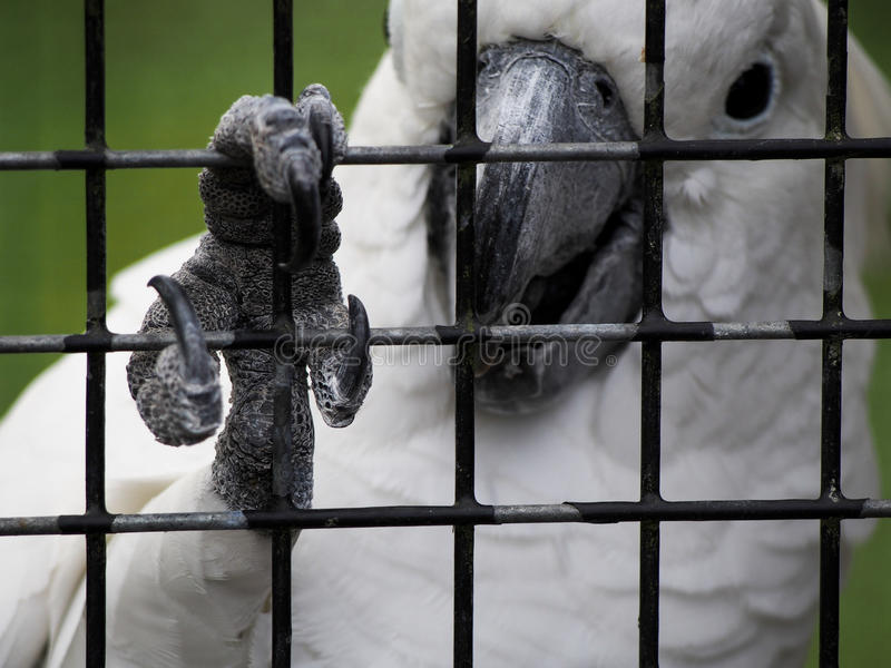 Cockatoo Grips Bars of Cage with Claw. A cockatoo grips the bars of its cage with its claw royalty free stock photos