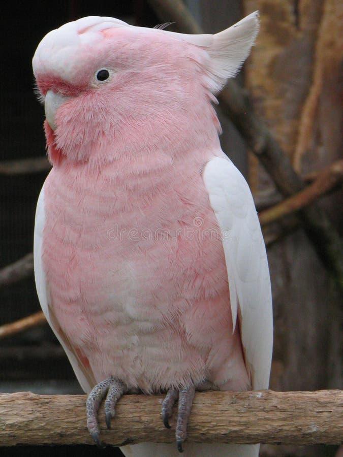 Cockatoo importante de Mitchell foto de archivo libre de regalías