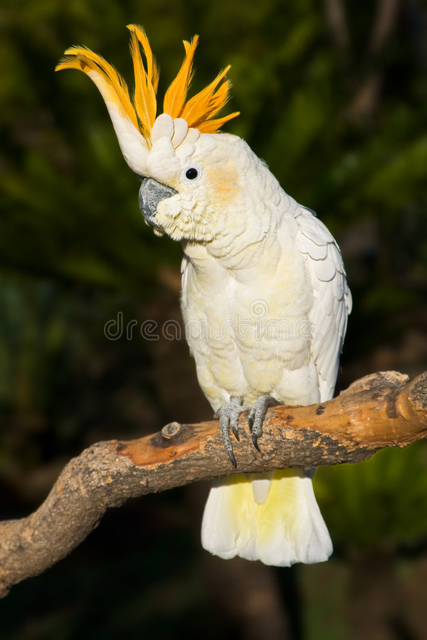 Cockatoo looking left stock images