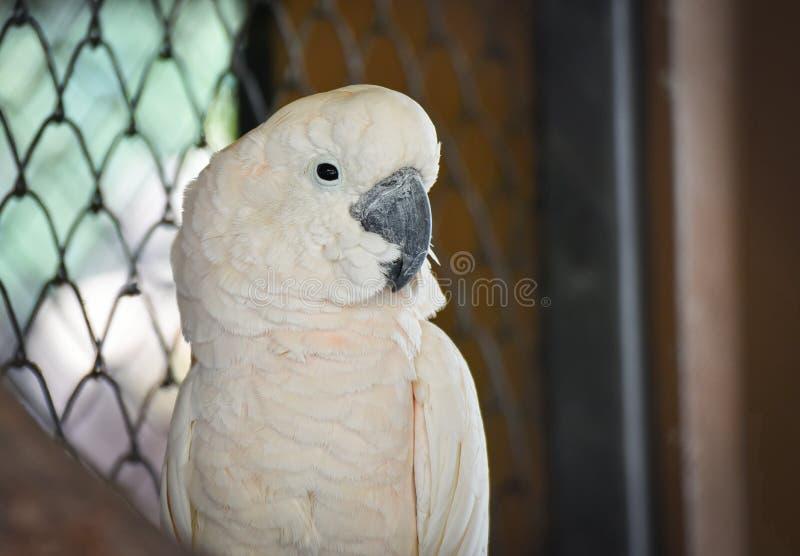 Cockatoo molucano fotografia de stock royalty free