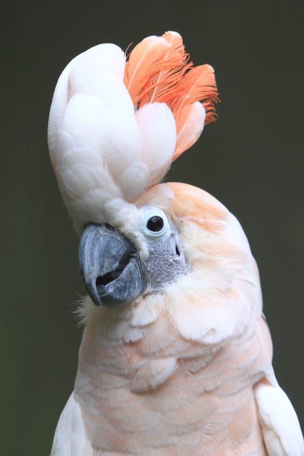 Cockatoo molucano imagens de stock