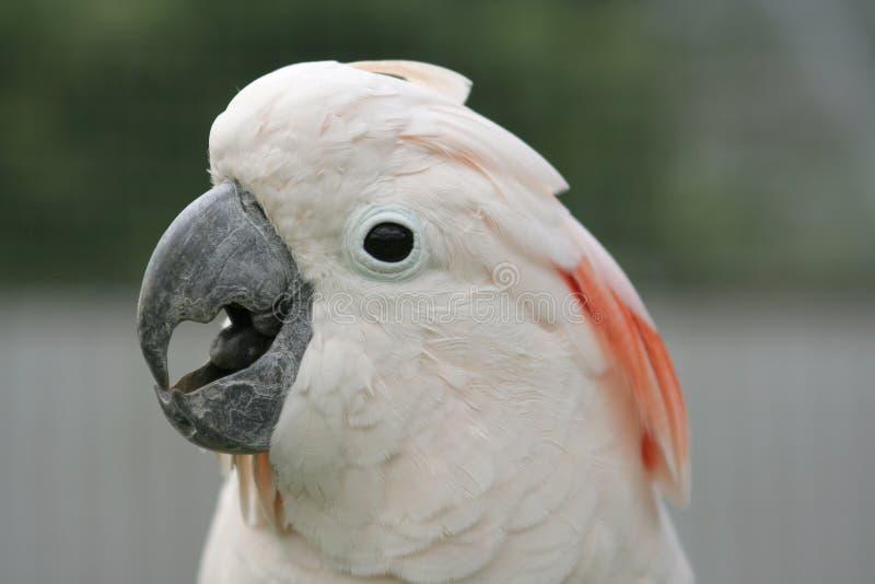 Cockatoo molucano fotografia de stock