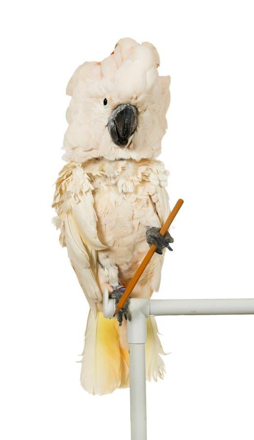 Cockatoo molucano com um lápis foto de stock royalty free