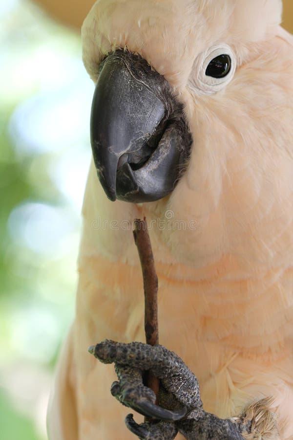 cockatoo moluccan стоковое фото