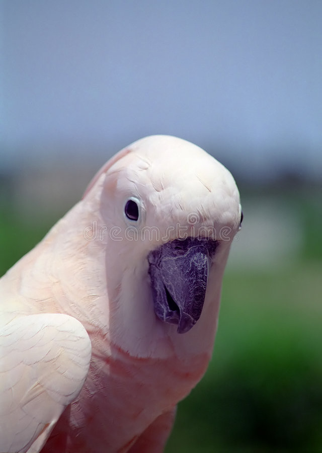 Download Cockatoo moluccan стоковое фото. изображение насчитывающей wildlife - 76138