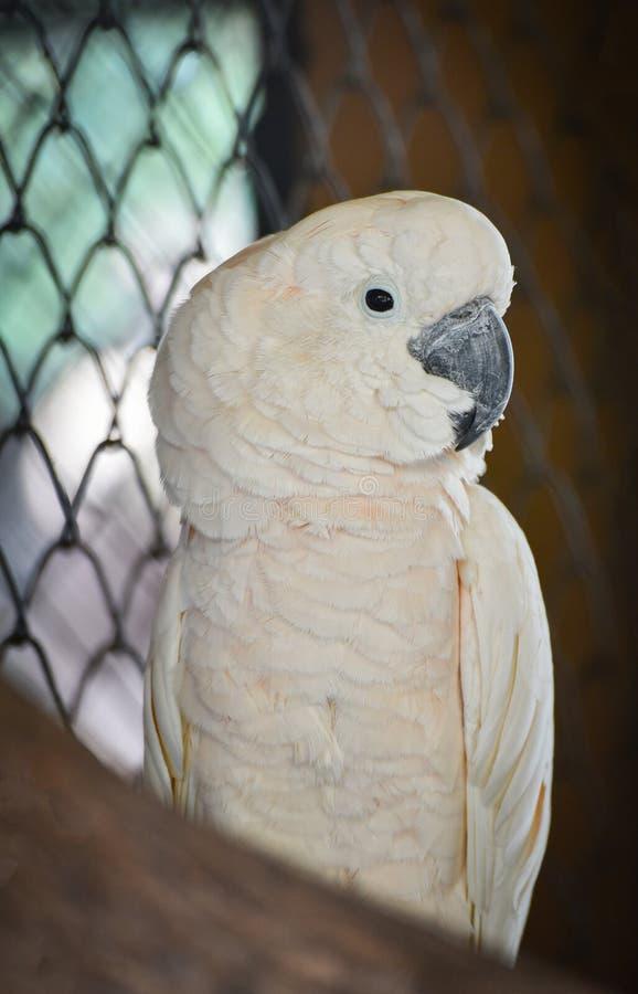 Cockatoo moluqueño foto de archivo