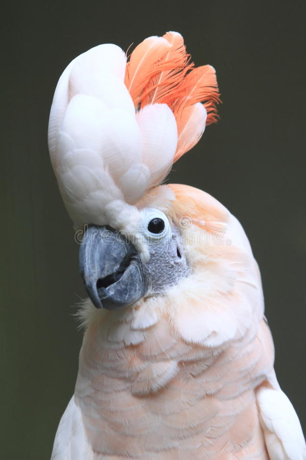 Cockatoo moluqueño imagenes de archivo