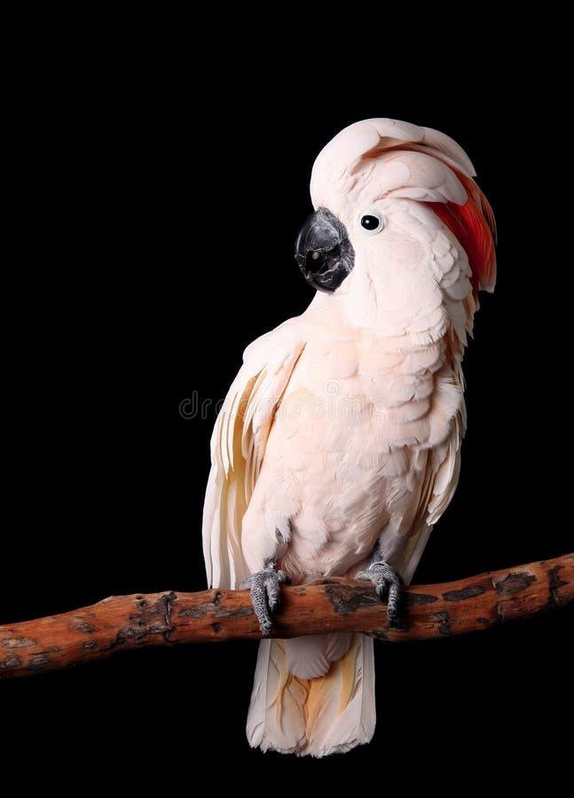 Cockatoo moluqueño hermoso imagen de archivo