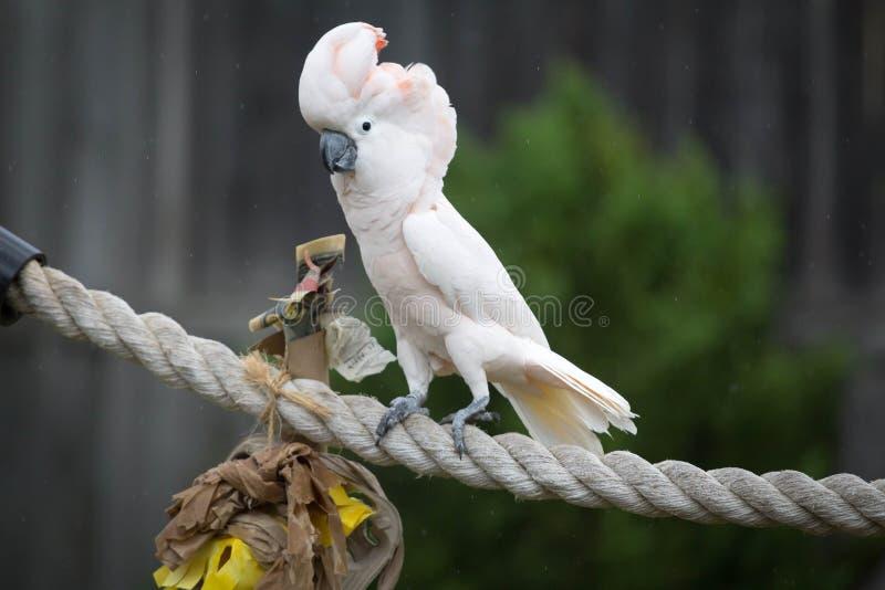 Cockatoo moluquois photographie stock libre de droits