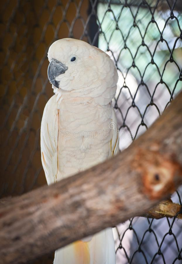 Cockatoo moluquois image stock