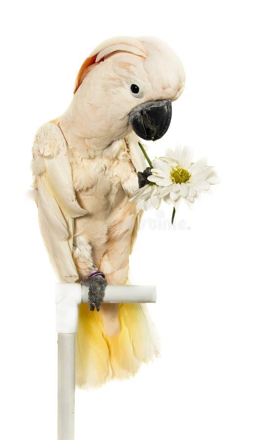Cockatoo moluquois avec des fleurs dans sa patte image stock