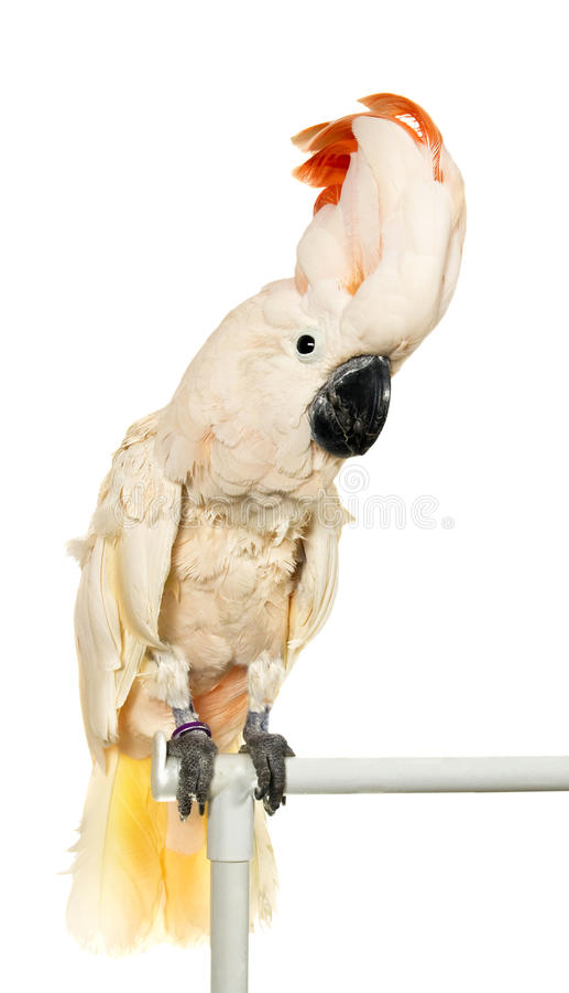 Cockatoo moluquois [(Lat. Moluccensis de Cacatua) photo stock