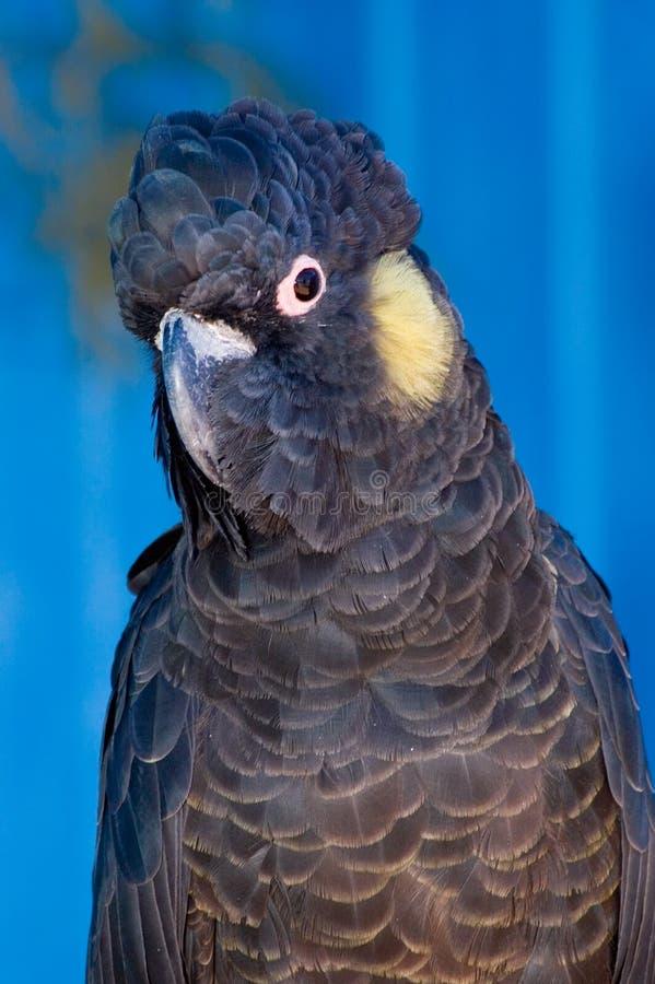 Cockatoo negro Amarillo-Atado imagen de archivo