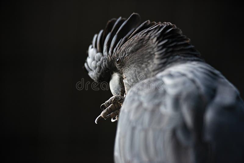 Cockatoo noir suivi rouge photo libre de droits
