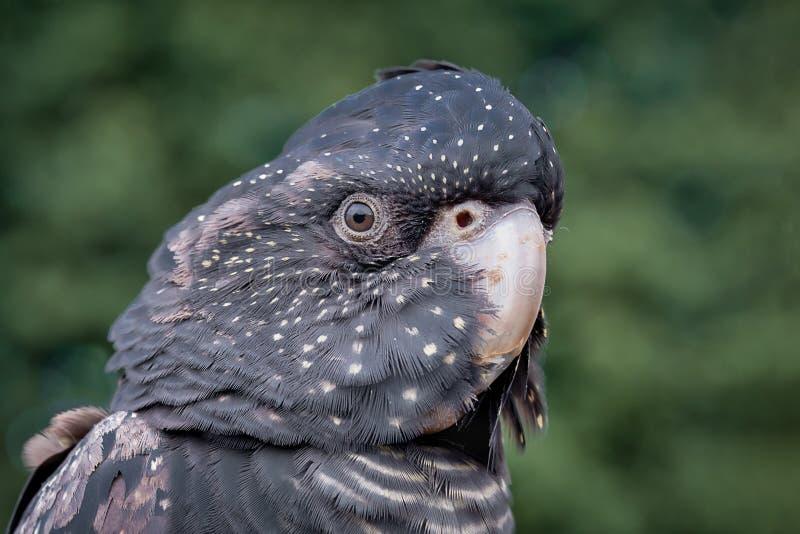 Cockatoo noir suivi rouge photographie stock
