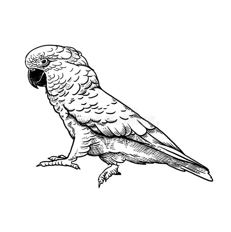 cockatoo Pájaro del loro aislado en el fondo blanco stock de ilustración